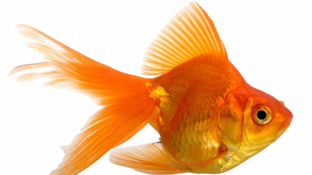 Le poisson rouge ulule for L alimentation du poisson rouge